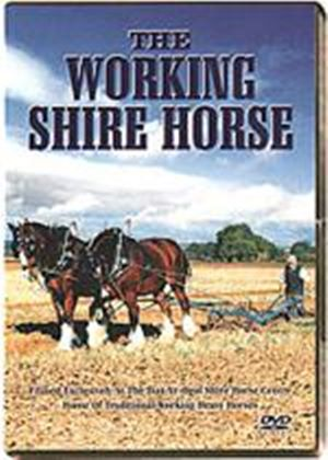 Working Shire Horse